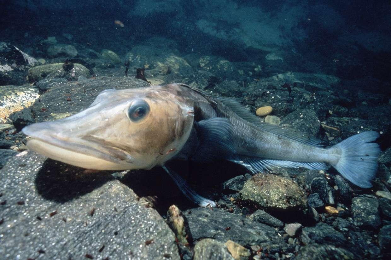 Icefish (Chaenocephalus aceratus)