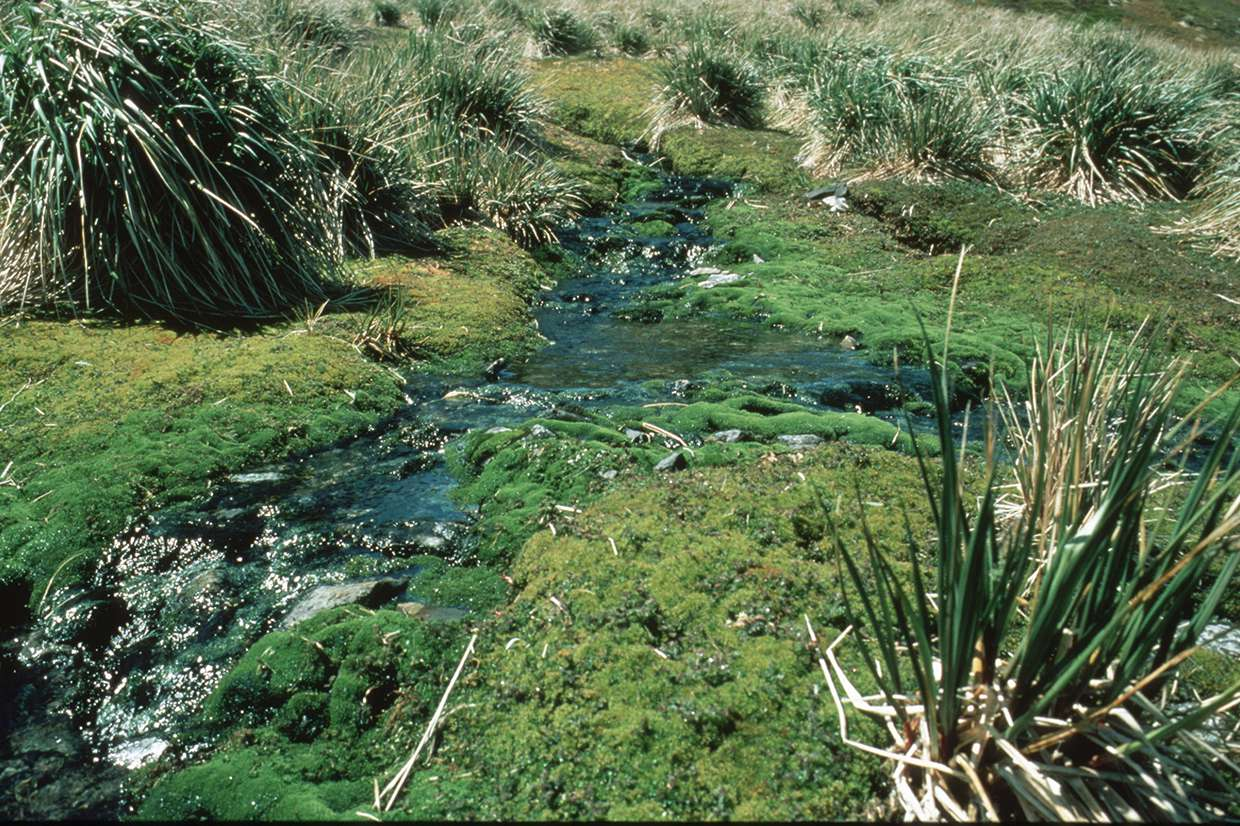 Vegetation of the sub-Antarctic – moss fringed stream with tussock grass, South Georgia