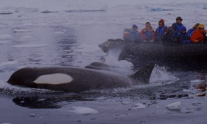 Tourists in a dingy viewing orcas in Antarctic