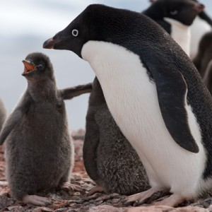 Adélie penguin with chick