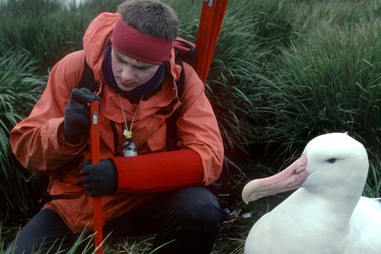 Monitoring of Wandering albatross (Diomedia exulans)