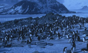 Adelie Penguin (Pygoscelis adeliae) colony in spring during the arrival and courtship