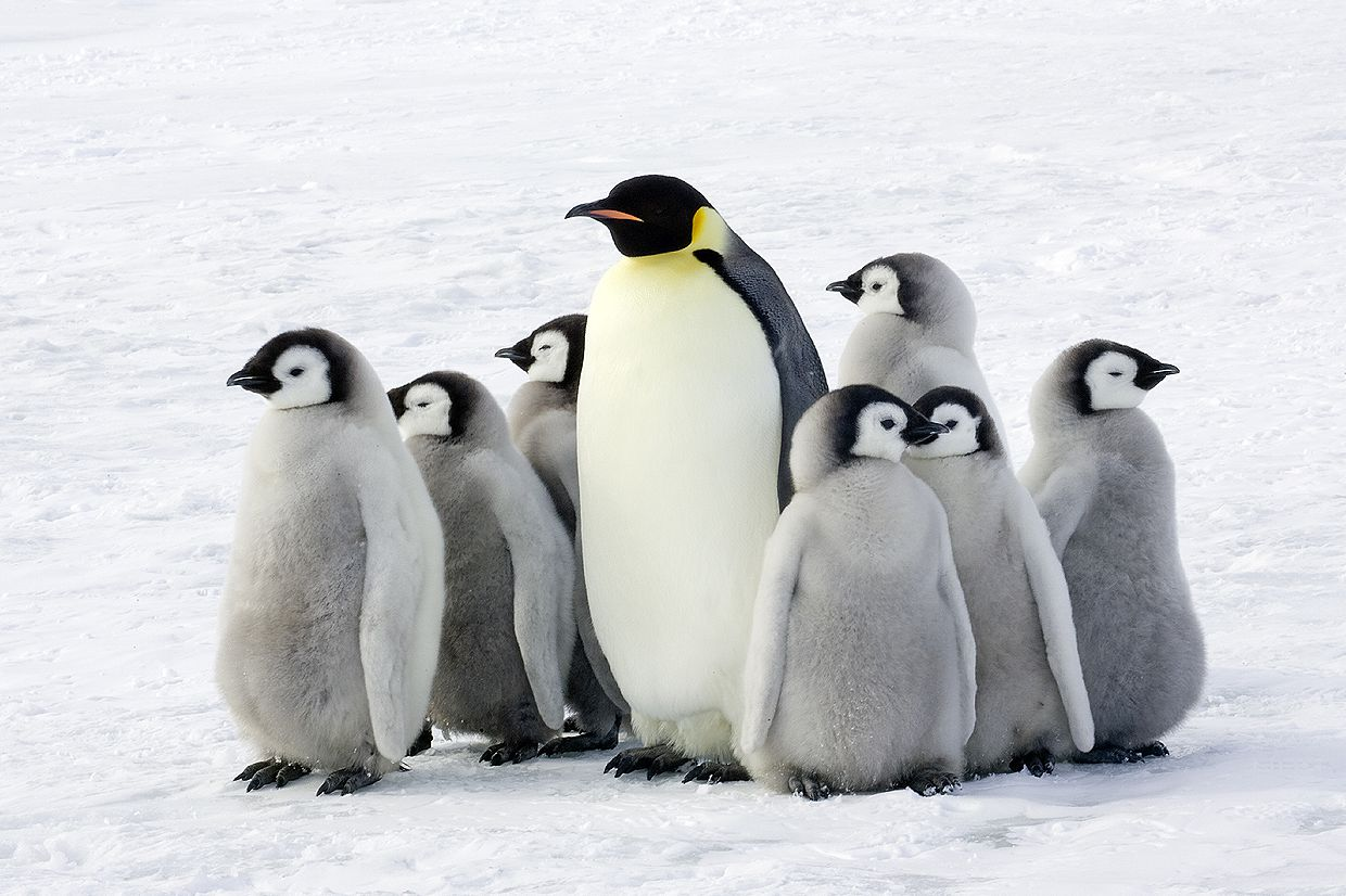 Emperor penguin looking after group of chicks