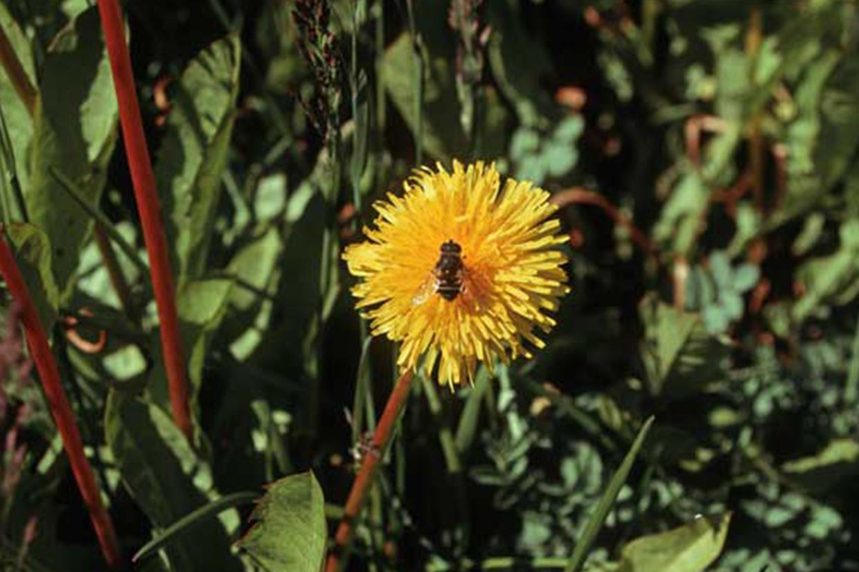 Invading species such as the hoverfly and dandelion are alien species in Antarctica.