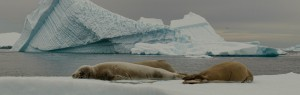 Seals in Antarctica ice flows © Christopher Michel