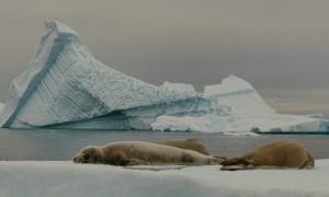 Seals in Antarctica ice flows © Christopher Michel