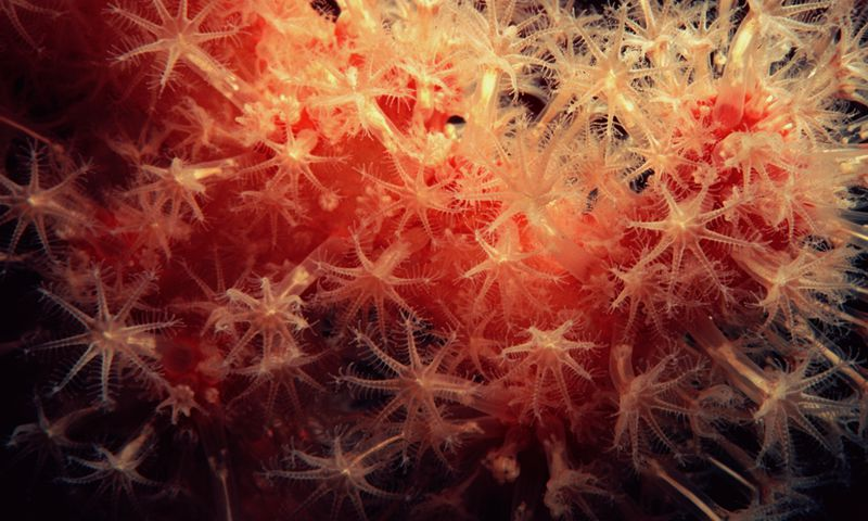 Alcyonium soft coral with its feeding polyps extended to collect food.