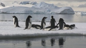 View from passing boat at eye level of 9 Adélie Penguins on an ice raft, relaxing in calm waters